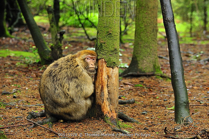 Barbary Macaque (Macaca sylvanus) on tree that has had its bark eaten off, native to northern Africa  -  Thomas Marent