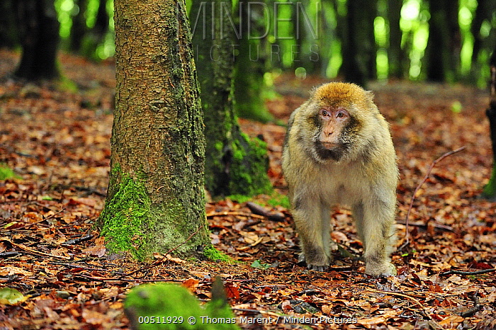 Barbary Macaque (Macaca sylvanus), native to northern Africa  -  Thomas Marent