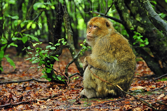 Barbary Macaque (Macaca sylvanus) female, native to northern Africa  -  Thomas Marent