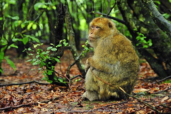 Barbary Macaque (Macaca sylvanus) female, native to northern Africa  -  Thomas Marent