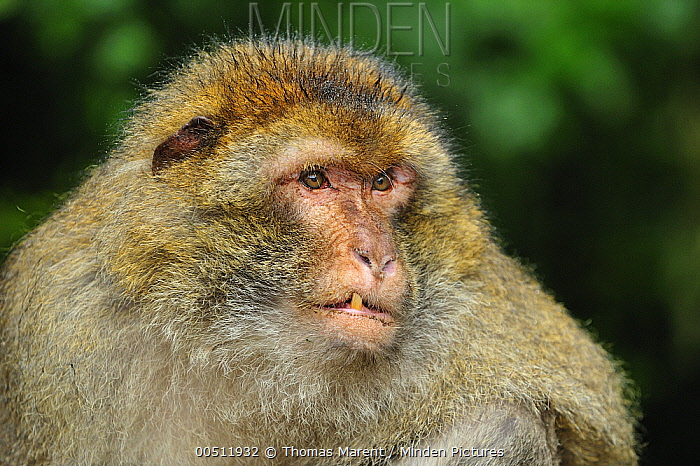 Barbary Macaque (Macaca sylvanus), native to northern Africa  -  Thomas Marent