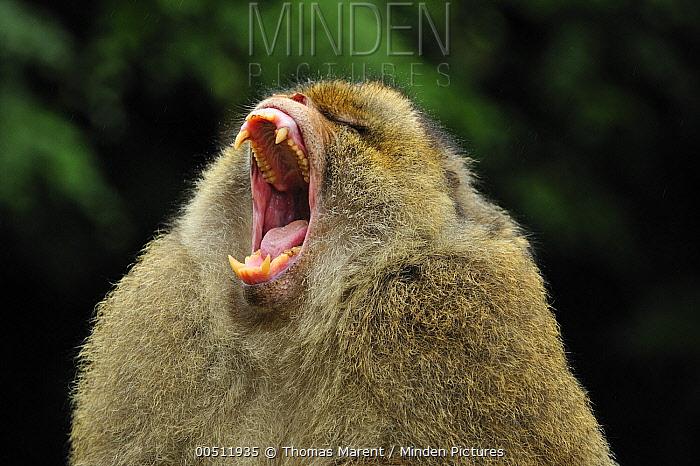 Barbary Macaque (Macaca sylvanus) yawning, native to northern Africa  -  Thomas Marent