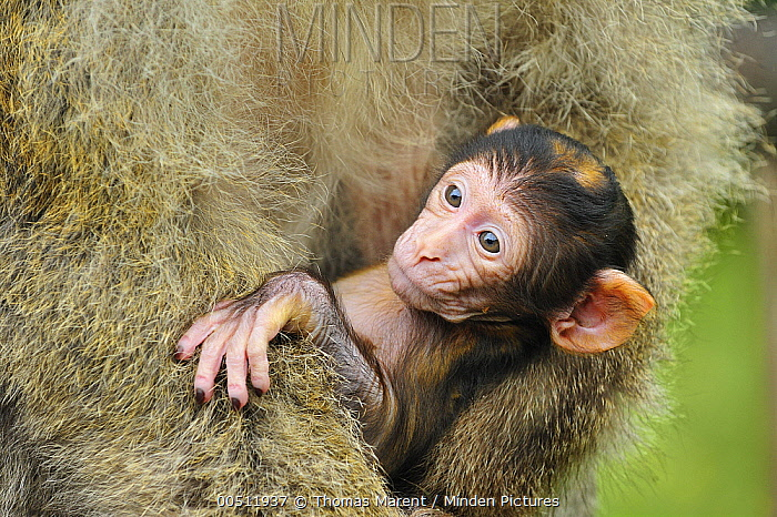 Barbary Macaque (Macaca sylvanus) mother with young, native to northern Africa  -  Thomas Marent