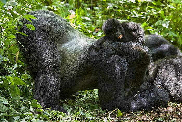 Mountain Gorilla (Gorilla gorilla beringei) silverback gently sliding one and half year old baby off his back, Parc National des Volcans, Rwanda  -  Suzi Eszterhas