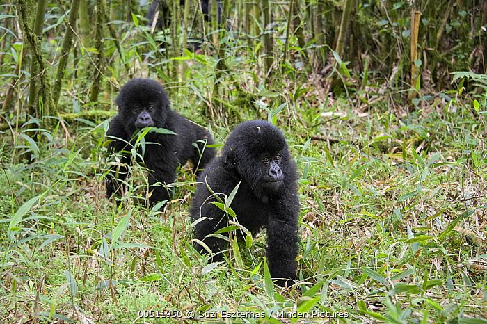 Mountain Gorilla (Gorilla gorilla beringei) one and a half year old twin babies playing, Parc National des Volcans, Rwanda  -  Suzi Eszterhas