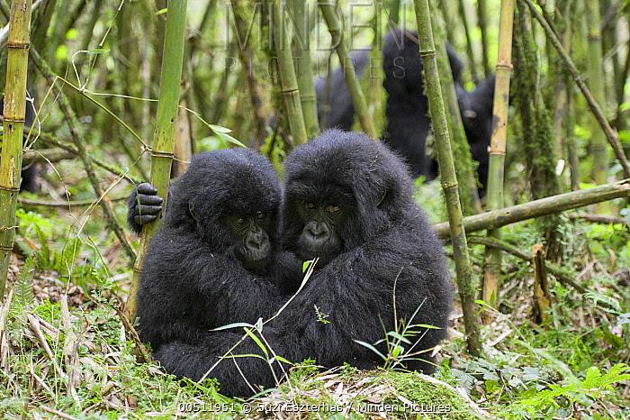 Mountain Gorilla (Gorilla gorilla beringei) two year old babies huddled together in bamboo forest, Parc National des Volcans, Rwanda  -  Suzi Eszterhas