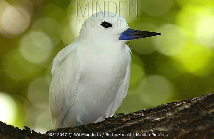 White Tern (Gygis alba), Aldabra, Seychelles  -  Wil Meinderts/ Buiten-beeld