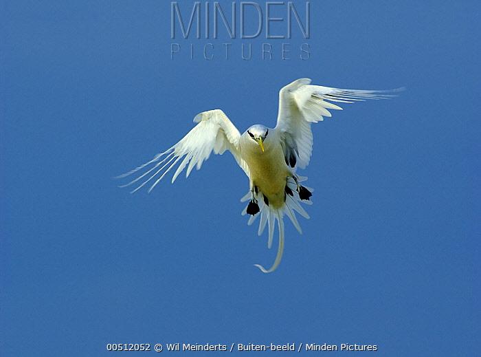 White-tailed Tropicbird (Phaethon lepturus) flying, Aldabra, Seychelles  -  Wil Meinderts/ Buiten-beeld