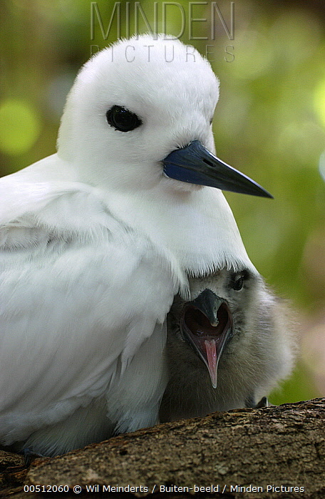 White Tern (Gygis alba) with chick in nest, Aldabra, Seychelles  -  Wil Meinderts/ Buiten-beeld