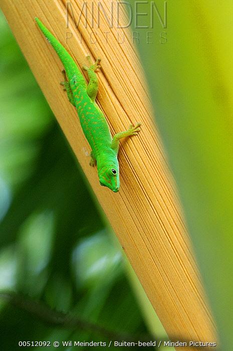 Seychelles Giant Day Gecko (Phelsuma sundbergi) upside down on tree, Aldabra, Seychelles  -  Wil Meinderts/ Buiten-beeld