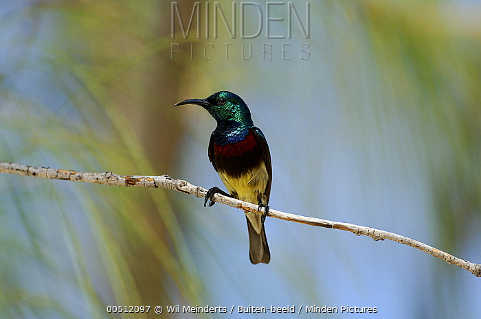 Souimanga Sunbird (Nectarinia sovimanga) male perched on twig, Aldabra, Seychelles  -  Wil Meinderts/ Buiten-beeld