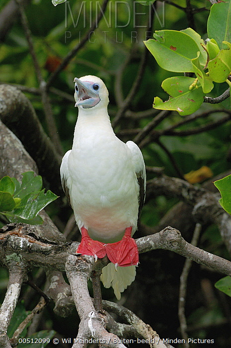 Red-footed Booby (Sula sula), Aldabra, Seychelles  -  Wil Meinderts/ Buiten-beeld
