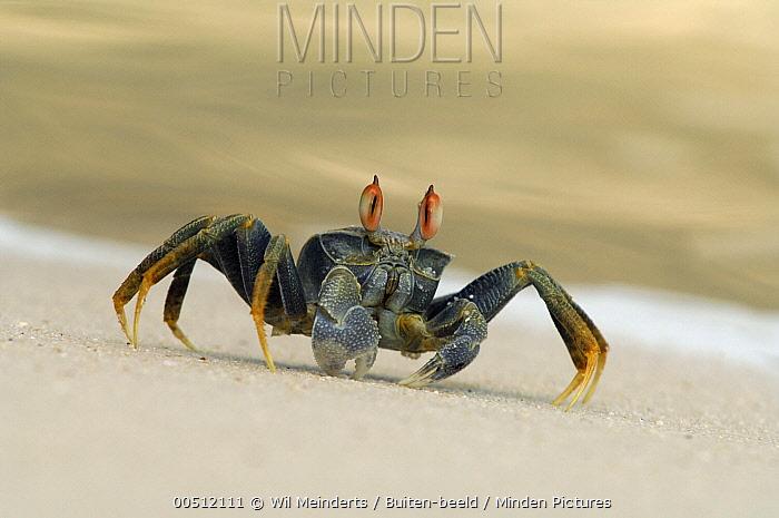 Ghost Crab (Ocypode ceratophthalma) on shore, Aldabra, Seychelles  -  Wil Meinderts/ Buiten-beeld
