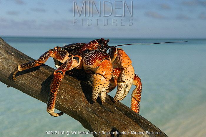 Coconut Crab (Birgus latro) on tree trunk, Aldabra, Seychelles  -  Wil Meinderts/ Buiten-beeld
