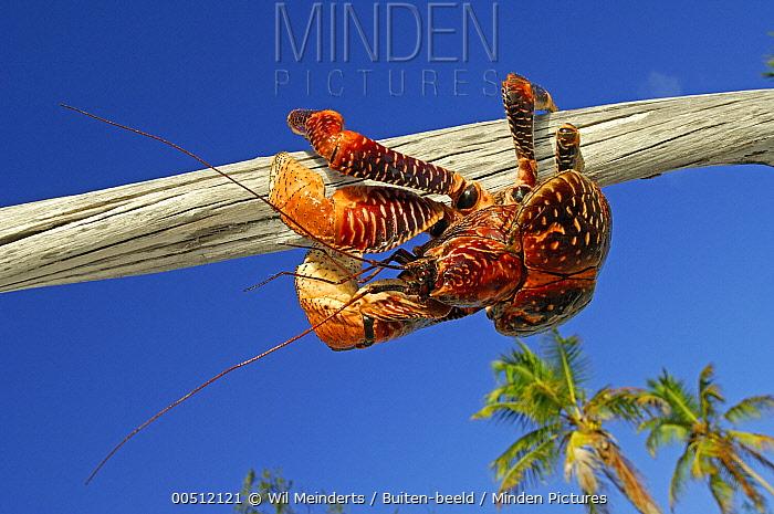 Coconut Crab (Birgus latro) on branch of tree, Aldabra, Seychelles  -  Wil Meinderts/ Buiten-beeld