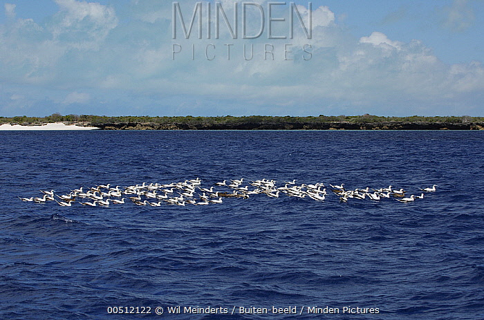 Red-footed Booby (Sula sula) flock on water, Aldabra, Seychelles  -  Wil Meinderts/ Buiten-beeld