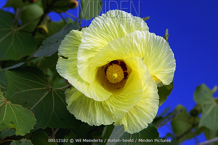 Hibiscus (Thespesia populneoides) bloom, flowers are yellow in the morning and orange in the evening, Aldabra, Seychelles  -  Wil Meinderts/ Buiten-beeld