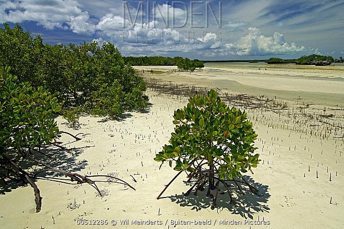 Mangrove on beach, Aldabra, Seychelles  -  Wil Meinderts/ Buiten-beeld