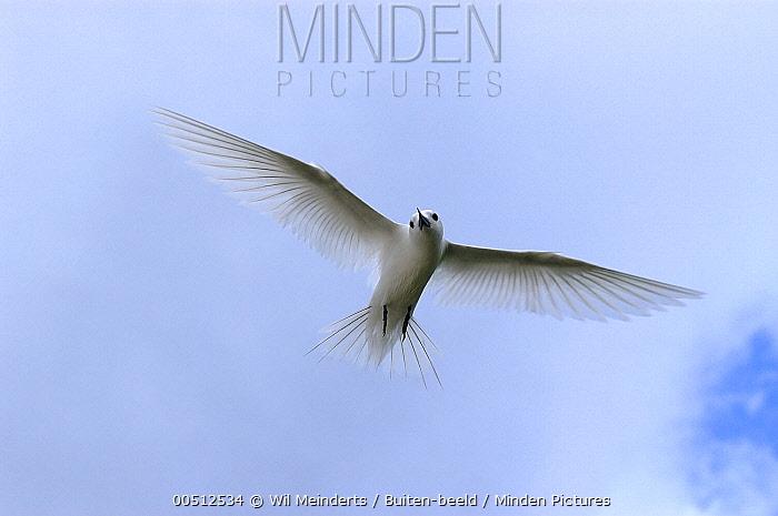 White Tern (Gygis alba) flying, Aldabra, Seychelles  -  Wil Meinderts/ Buiten-beeld