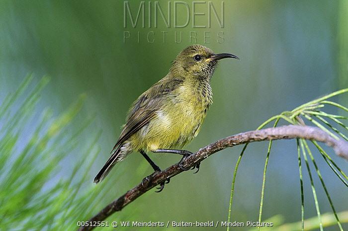 Souimanga Sunbird (Nectarinia sovimanga), Aldabra, Seychelles  -  Wil Meinderts/ Buiten-beeld