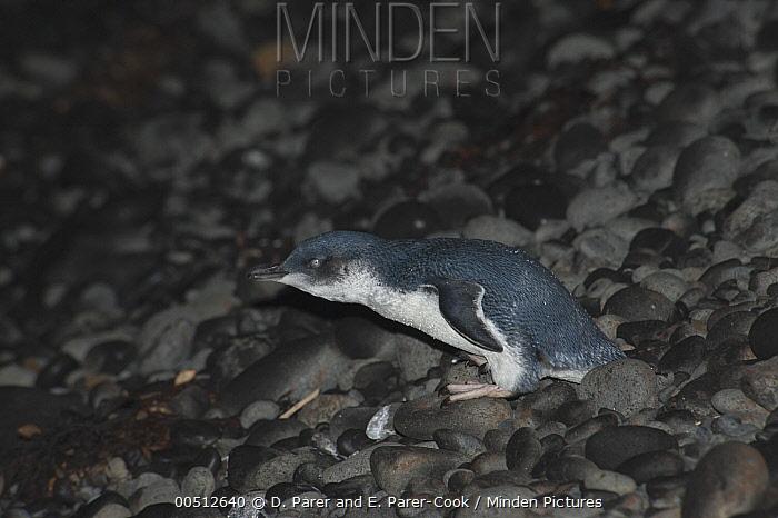 Little Blue Penguin (Eudyptula minor) walking across a pebble beach to go to sea to feed, Phillip Island, Australia  -  D. Parer & E. Parer-Cook