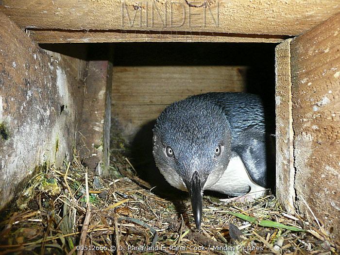 Little Blue Penguin (Eudyptula minor) peering out of nest box, Phillip Island, Australia  -  D. Parer & E. Parer-Cook