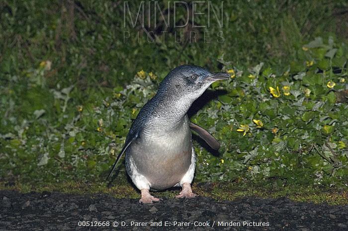 Little Blue Penguin (Eudyptula minor) returning from a feeding trip to its nest, Phillip Island, Australia  -  D. Parer & E. Parer-Cook