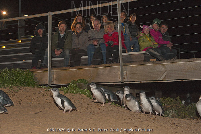 Little Blue Penguin (Eudyptula minor) returning to beach at night while being watched by tourists, Phillip Island, Australia  -  D. Parer & E. Parer-Cook
