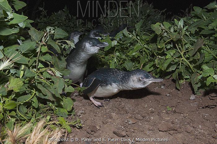 Little Blue Penguin (Eudyptula minor) group returning from a feeding trip at sea, Phillip Island, Australia  -  D. Parer & E. Parer-Cook