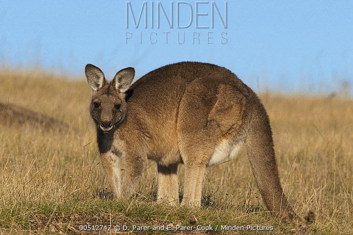 Eastern Grey Kangaroo (Macropus giganteus) female, Maria Island National Park, Australia  -  D. Parer & E. Parer-Cook