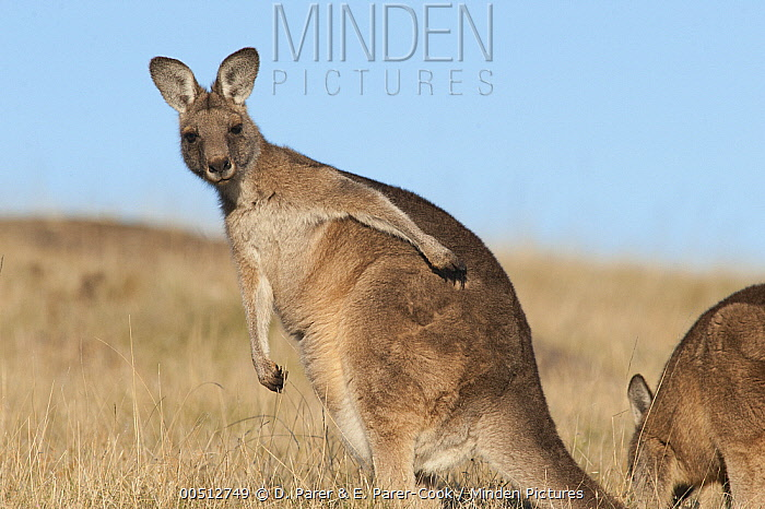Eastern Grey Kangaroo (Macropus giganteus) female scratching herself, Maria Island National Park, Australia  -  D. Parer & E. Parer-Cook