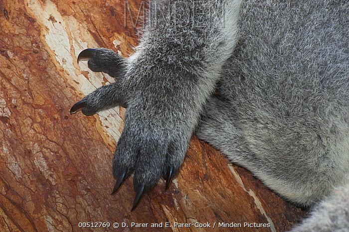 Koala (Phascolarctos cinereus) claws adapted for arboreal climbing lifestyle, Phillip Island, Australia  -  D. Parer & E. Parer-Cook