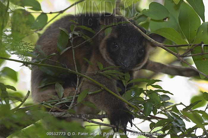 Lumholtz's Tree-kangaroo (Dendrolagus lumholtzi), Atherton Tableland, Australia  -  D. Parer & E. Parer-Cook