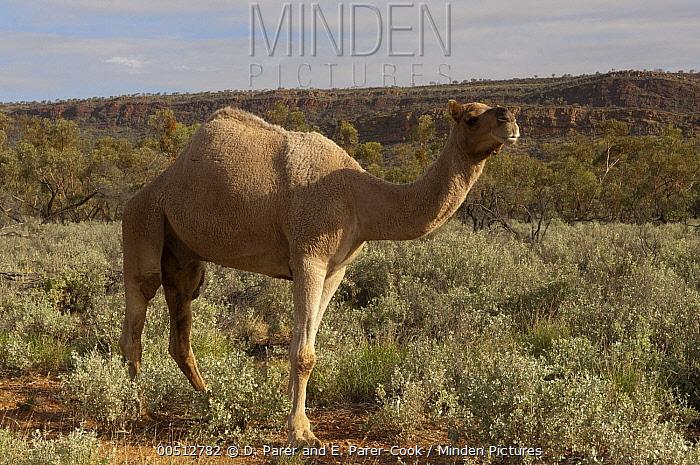Dromedary (Camelus dromedarius), an introduced species, MacDonnell Range, Australia  -  D. Parer & E. Parer-Cook