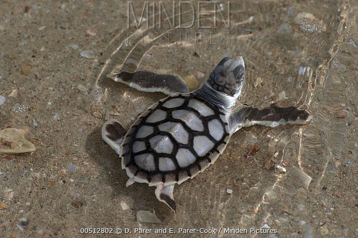 Flatback Turtle (Natator depressa) hatchling going to sea, Torres Strait, Australia  -  D. Parer & E. Parer-Cook