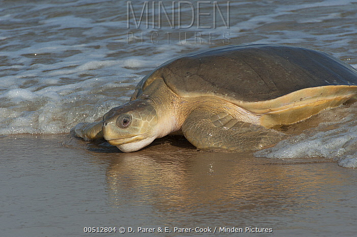 Flatback Turtle (Natator depressa) female coming ashore to nest, Torres Strait, Australia  -  D. Parer & E. Parer-Cook