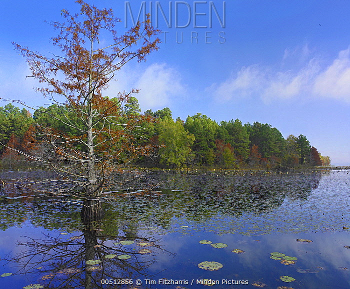 Bald Cypress (Taxodium distichum), Millwood Lake State Park, Arkansas  -  Tim Fitzharris