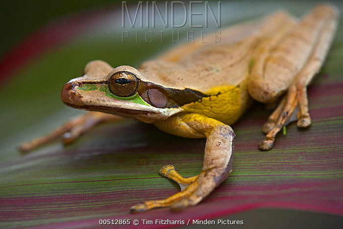 Masked Treefrog (Rhacophorus angulirostris), Costa Rica  -  Tim Fitzharris
