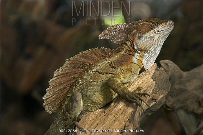 Common Basilisk (Basiliscus basiliscus) male, Costa Rica  -  Tim Fitzharris