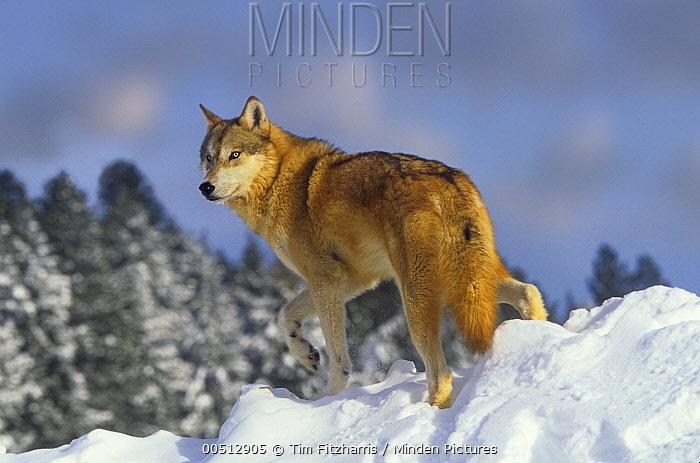 Gray Wolf (Canis lupus), Montana  -  Tim Fitzharris
