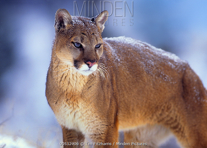 Mountain Lion (Puma concolor), Montana  -  Tim Fitzharris