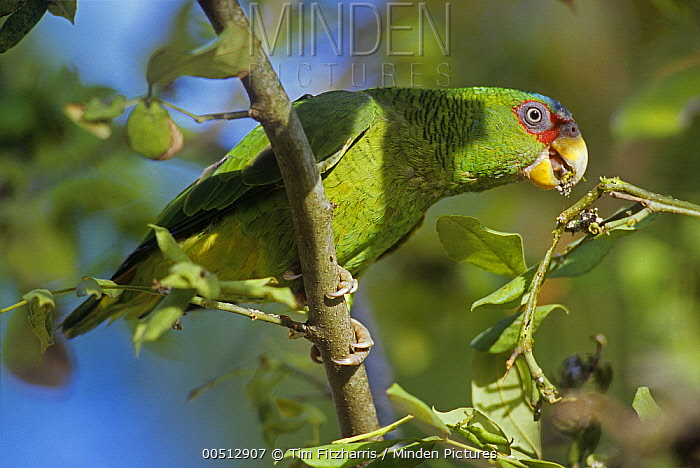 White-fronted Parrot (Amazona albifrons), Costa Rica  -  Tim Fitzharris