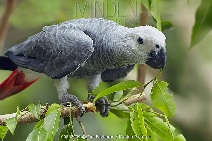 African Grey Parrot (Psittacus erithacus), Phillipines  -  Tim Fitzharris