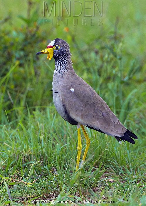 Wattled Lapwing (Vanellus senegallus), Lake Mburo National Park, Uganda  -  Martin Willis