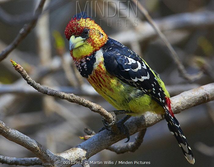 Crested Barbet (Trachyphonus vaillantii), Kruger National Park, South Africa  -  Martin Willis