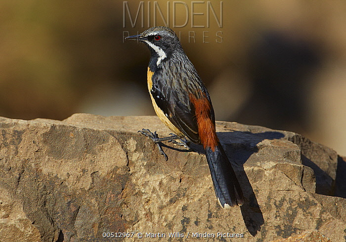 Orange-breasted Rockjumper (Chaetops aurantius) male perched on a rock, Sani Pass, Drakensberg, South Africa  -  Martin Willis