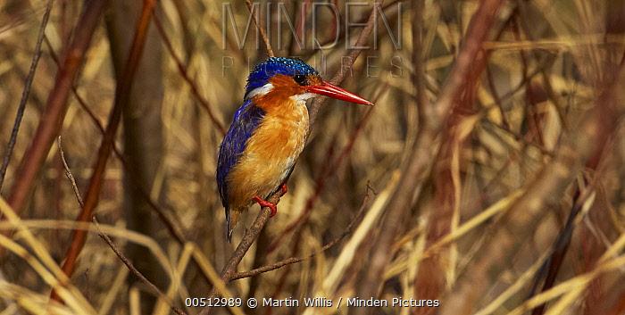 Malachite Kingfisher (Alcedo cristata) sunning itself on a twig in the reeds, Sani Pass, Drakensberg, South Africa  -  Martin Willis