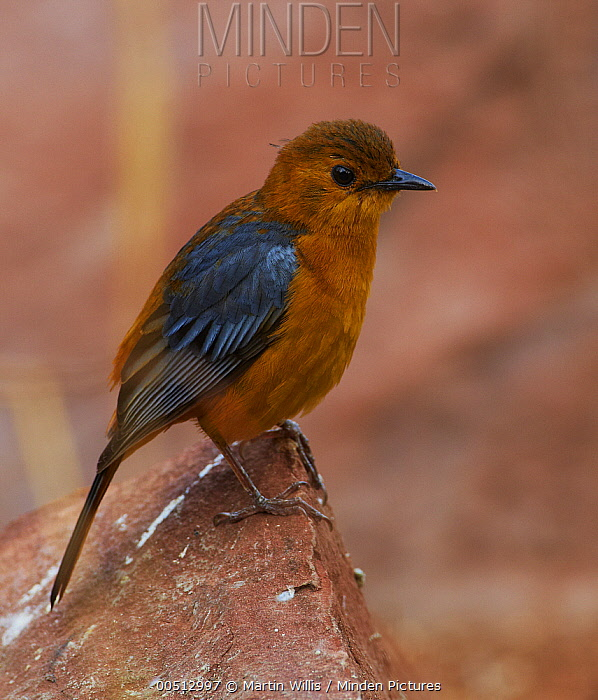 Red-capped Robin-Chat (Cossypha natalensis), Kruger National Park, South Africa  -  Martin Willis