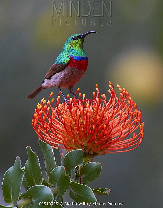 Southern Double-collared Sunbird (Cinnyris chalybeus) on Rocket Pincushion (Leucospermum reflexum) flower, Kirstenbosch Garden, Cape Town, South Africa  -  Martin Willis