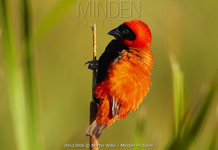 Red Bishop (Euplectes orix) displaying on a reed, Cape Town, South Africa  -  Martin Willis